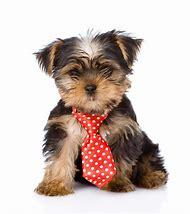 Cute Yorkie Puppy