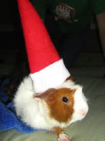 guinea pigs wearing funny hats