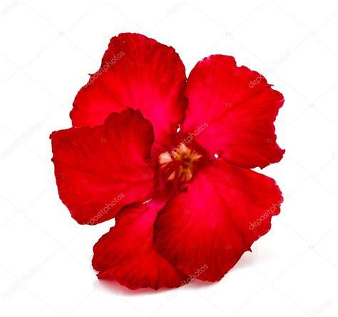 fiore rosso fiore rosso isolato su sfondo bianco foto stock