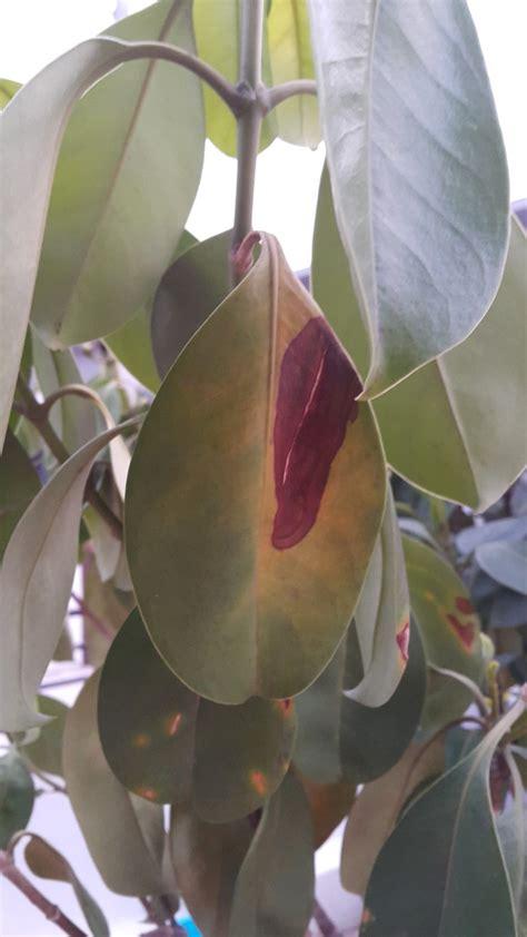 ต้นแก้วมุกดามีอาการใบเหลืองเหี่ยว และใบไหม้แก้ไขอย่างไรดี ...