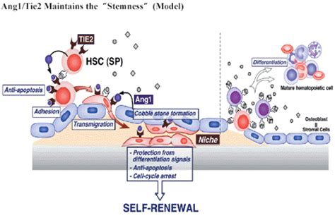 basic study  clinical application  human stem cell