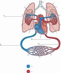 Diagram Of Heart  Arteries  Veins  Arterioles  Venules And