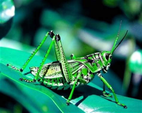 grasshopper life cycle  grasshopper behaviour diet