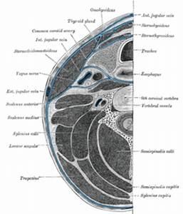 Prevertebral space - Wikipedia