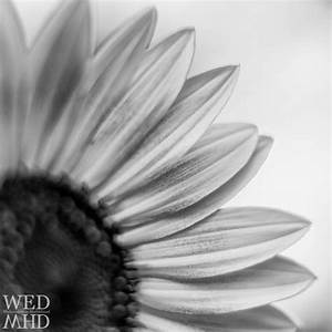 White And Black : sunflowers in black and white marblehead ma ~ Medecine-chirurgie-esthetiques.com Avis de Voitures