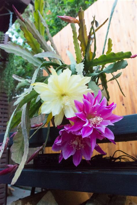 Kellogg Garden Soil by Opening Night Epiphyllum Cacti Their Flowers And The