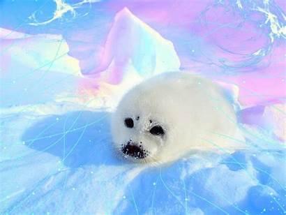 Seal Harp Animal Seals Pup Wallpapers Animals