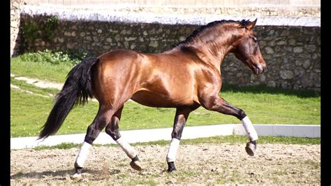 andalusian horse dressage