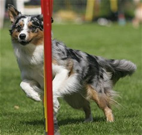 training australian shepherds  dog training