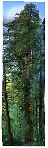 The first ever seamless photograph of an entire redwood for The first ever seamless photograph of an entire redwood tree