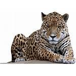 Leopard Transparent Jaguar Clipart Amur Background Clip