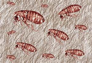 Fleas on carpet carpet ideas for How to kill fleas on wood floors
