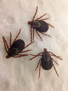 How to Remove a Tick | Den Herder Veterinary Hospital