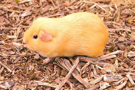 Pine Bedding For Guinea Pigs by 3 Types Of Bedding For Guinea Pigs