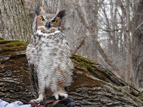great horned owl song call voice sound