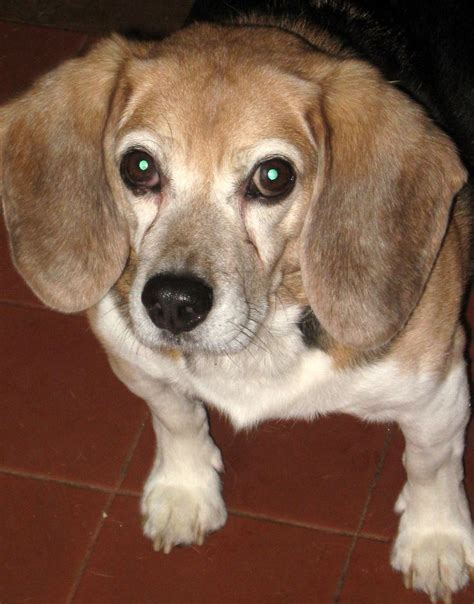 do pocket beagles shed 100 best images about beagle shedding dogs on