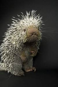 A Prehensile-tailed Porcupine Coendou Photograph by Joel