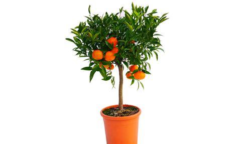 pianta di mandarino in vaso pianta di mandarino comune in vaso 18 cm savini vivai di