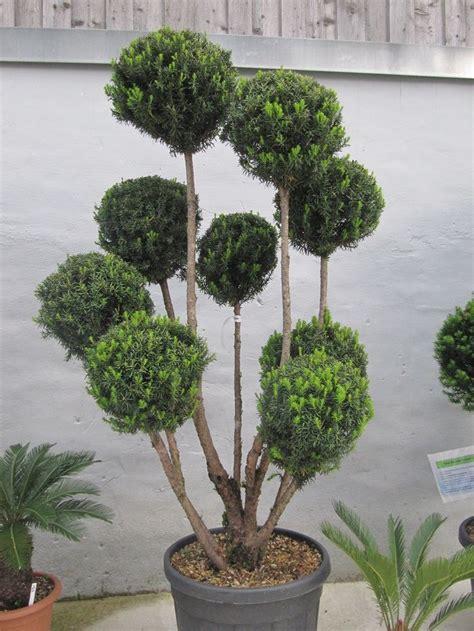 eibe schneiden formschnitt taxus baccata eibe pompon mediterrane pflanzen mediterrane pflanzen winterhart