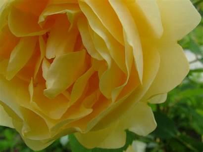Yellow Rose Pinky Screensavers Flowers Wallpapers Roses
