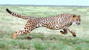 We Finally Have An Accurate Measurement Of A Cheetah U0026 39 S Top