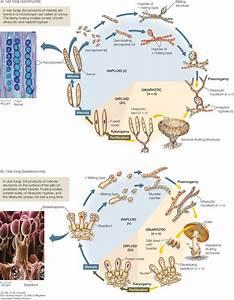 33 Life Cycle Of Fungi Diagram