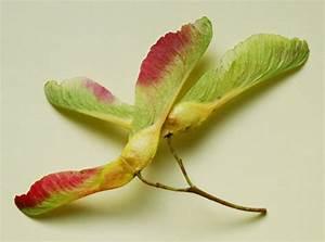 Ahorn Frucht Name : acer platanoides image 150 ~ Frokenaadalensverden.com Haus und Dekorationen
