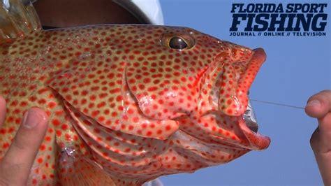 grouper strawberry florida fish bass floridasportfishing
