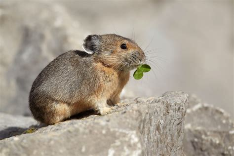 Pika Cute Animals Interesting Facts And Latest Pictures