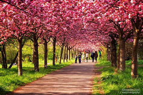 berlin  spring cherry blossom season alexander voss fine art fotografie digital analog