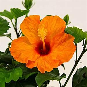 Hibiskus Stämmchen Kaufen : oranger sommer hibiskus online kaufen bei g rtner p tschke ~ Buech-reservation.com Haus und Dekorationen