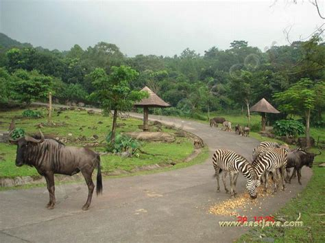 safari animal taman safari ii of interesting site for