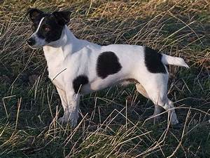1000+ images about Jack Russell on Pinterest   Chihuahuas ...