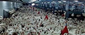 Nourriture Poule Pondeuse Pas Cher : apr s les 1000 vaches un poulailler de 250 000 poules univers nature actualit ~ Melissatoandfro.com Idées de Décoration