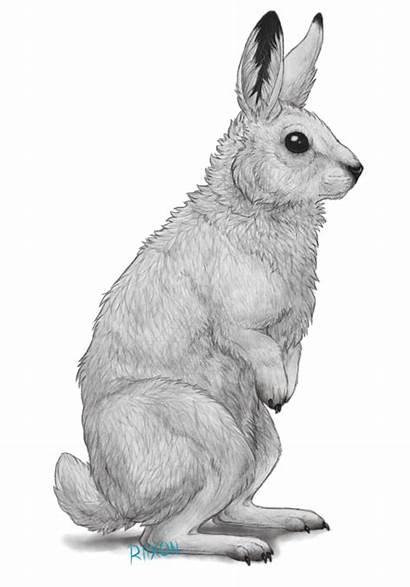 Hare Arctic Clipart Rabbit Bunny Drawn Deviantart