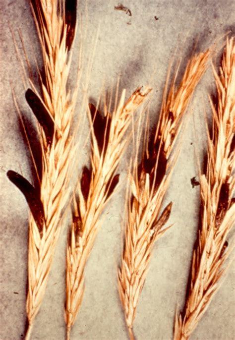 rye ergot pathogen claviceps purpurea scot nelson flickr
