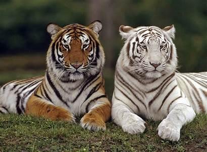 Animals Wild Mates Animal Tigers Fanpop Tiger