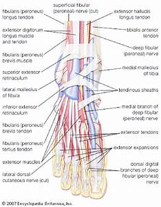 Nerves Of Foot   Adapted From Encyclopedia Britanica 2007