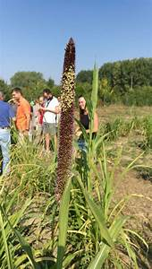 Drought-proofing crops in Italy: is millet the grain of ...