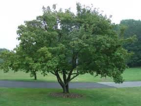 amur maple excellent medium sized tree for landscapes what grows there hugh conlon
