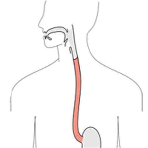 Esophagu Cancer Diagram by Free Esophagus Cliparts Free Clip Free Clip