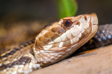 Water Moccasin Snakes Removal & Control in Virginia