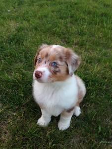 Aussie pup - red Merle - blue eyes - puppy | Pets ...