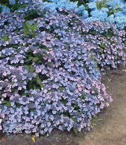 Hortensien In Heißes Wasser : niedrige garten hortensie koreana pflanzen pinterest ~ Lizthompson.info Haus und Dekorationen