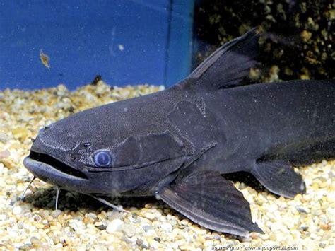 poisson chat d aquarium trachycorystes trachycorystes poisson chat noir 233 levage