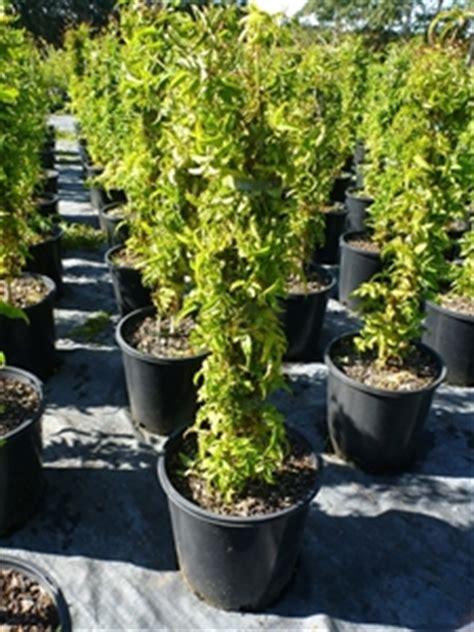 jasminum polyanthum en pot pink jasminum polyanthum 200mm pot fragrant flowers plant height auction 0089 5006944