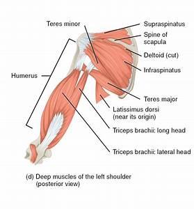Rotator Cuff Muscles Diagram