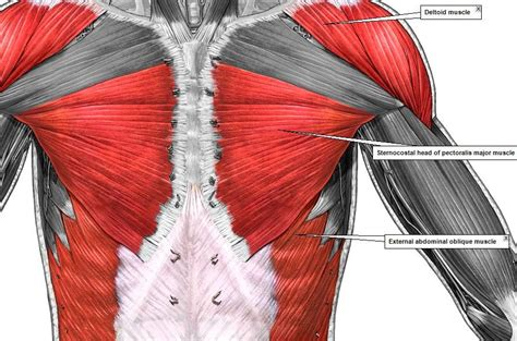 Bones help muscles to act as levers to move the legs, arms and other body parts. Pin by pat reilly on Names of muscles (With images) | Anatomy bones, Muscle anatomy, Body anatomy