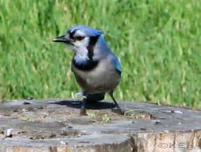 Male and Female Blue Jay Birds