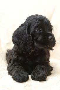 Black American Cocker Spaniel Puppies